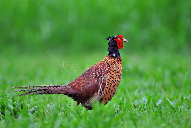 fazant stock foto