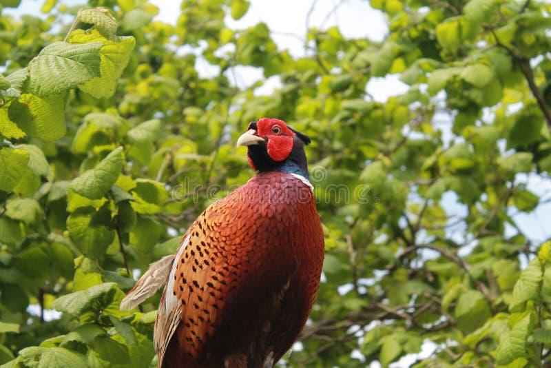 fazant royalty-vrije stock fotografie