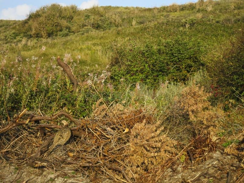 Fazant, Common Pheasant, Phasianus colchicus stock photography