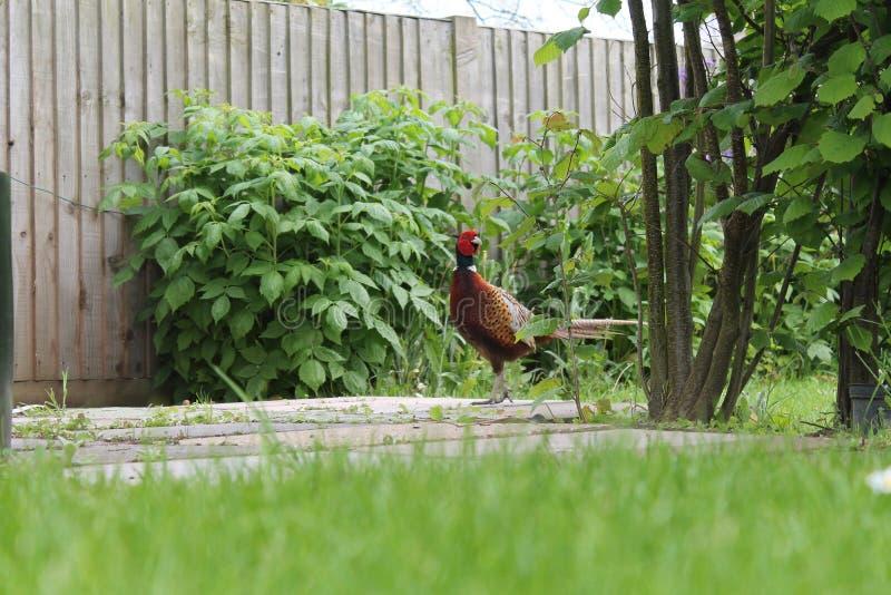 Fazant in de tuin stock afbeeldingen