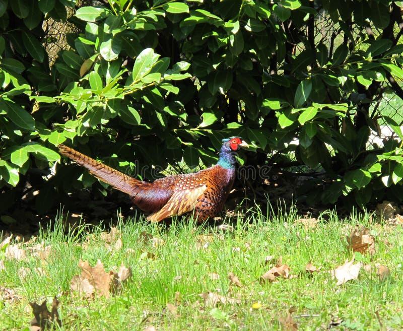 Download Fazant mannelijke vogel stock foto. Afbeelding bestaande uit wild - 39109122