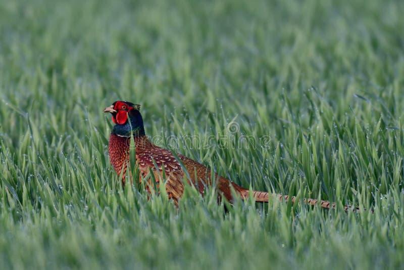 Fazanthaan in grainfield, de lente stock foto
