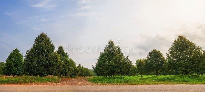 Fazenda de árvores durianas do Panorama na Tailândia foto de stock