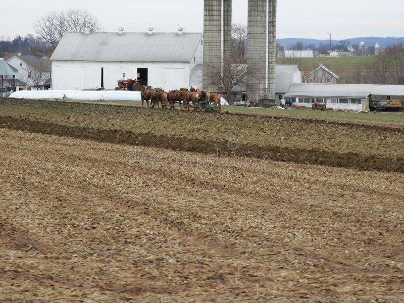 Fazendeiro Amish com uma equipe das mulas imagens de stock
