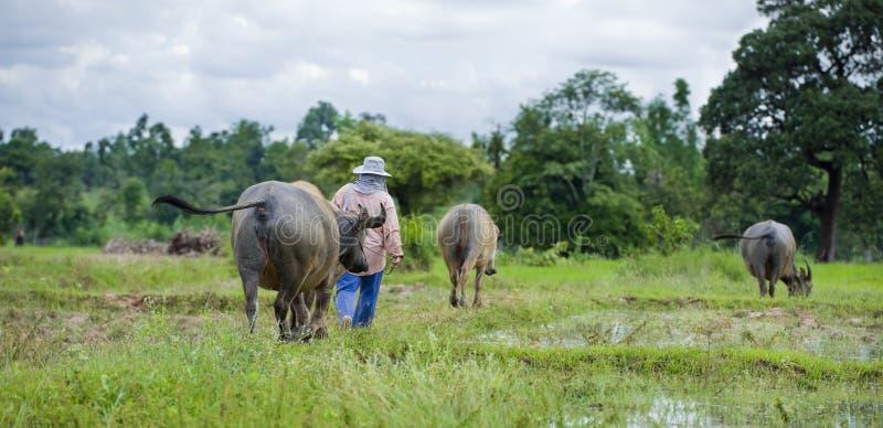 Fazendeiro asiático com búfalos de água foto de stock