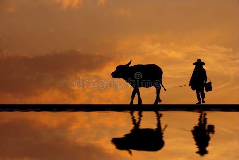 Fazendeiro asiático da silhueta que aumenta o búfalo na exploração agrícola foto de stock