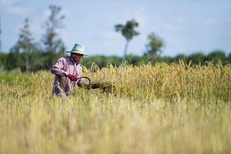 Fazendeiro asiático que colhe o arroz imagem de stock royalty free