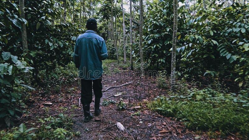 fazendeiro boliviano local que anda ao redor em sua plantação de café robusta na borda da floresta úmida imagem de stock