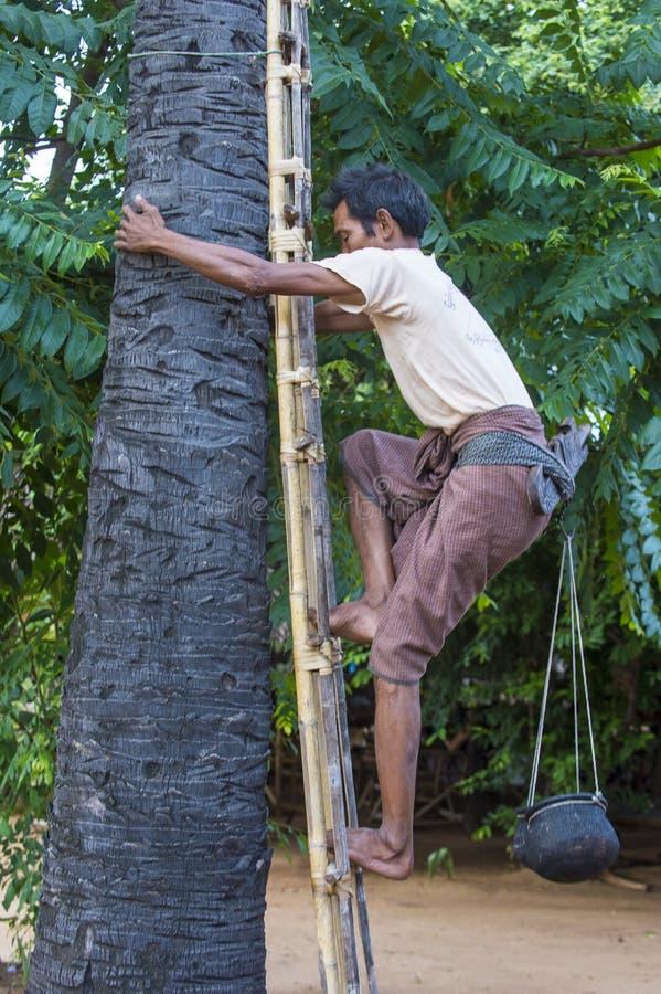 Fazendeiro burmese que escala uma palmeira foto de stock royalty free