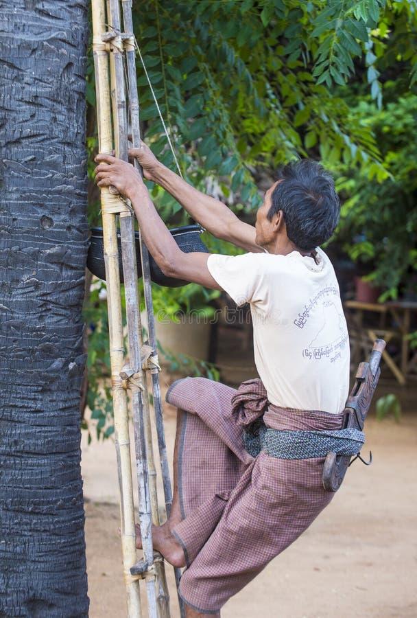 Fazendeiro burmese que escala uma palmeira fotos de stock