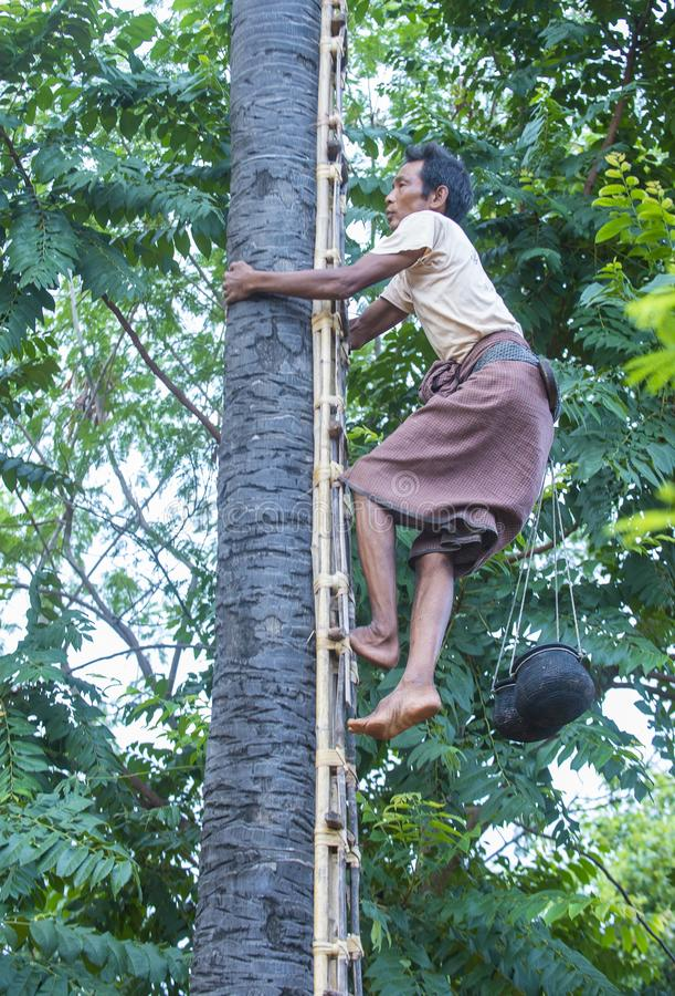 Fazendeiro burmese que escala uma palmeira imagem de stock