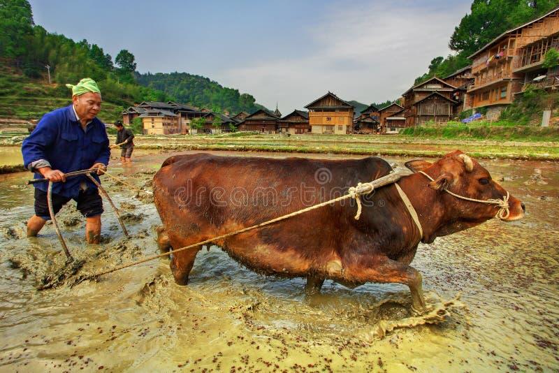 Fazendeiro chinês que ara um campo do arroz usando o vermelho puxando do poder