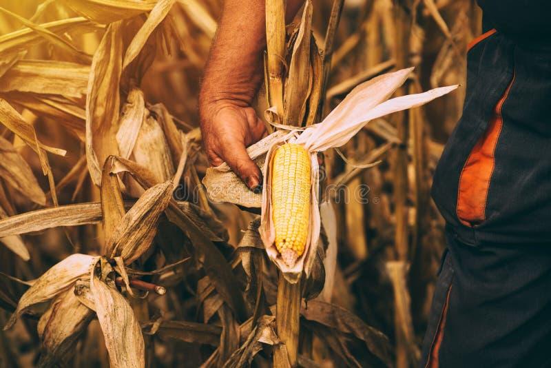 Fazendeiro com a espiga de milho madura pronta do milho da colheita no campo imagens de stock royalty free