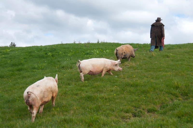 Fazendeiro com porcos fotografia de stock royalty free