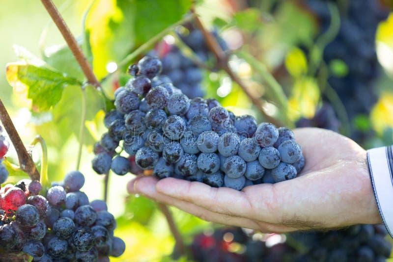 Fazendeiro com suas uvas vermelhas imagens de stock