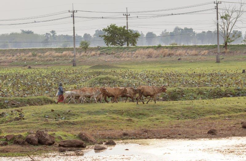 Fazendeiro com a vaca em Tailândia foto de stock royalty free