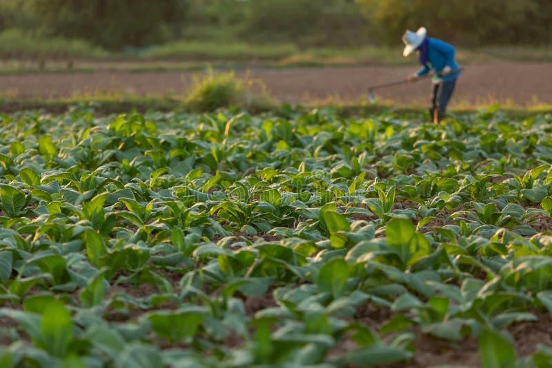 Fazendeiro cubano do cigarro que trabalha o solo em um campo cercado pelas folhas verdes do cigarro imagens de stock royalty free
