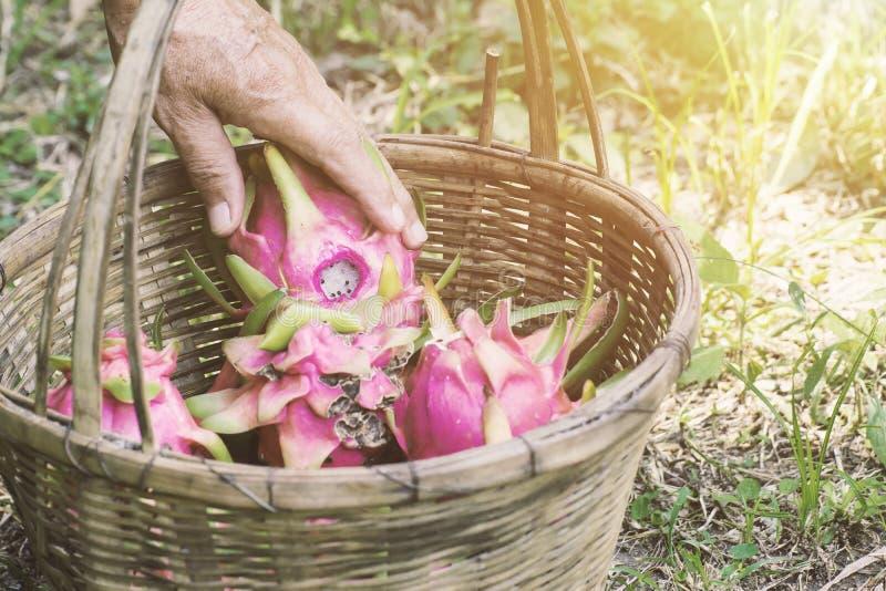 Fazendeiro da mão e fruto do dragão foto de stock
