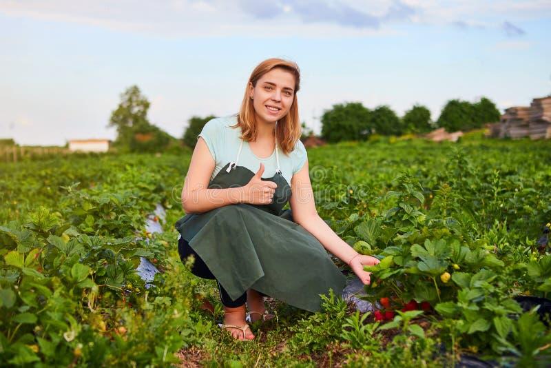 Fazendeiro da mulher que trabalha em um campo da morango O trabalhador escolhe morangos imagens de stock