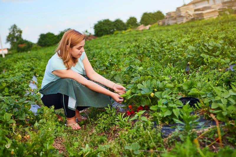 Fazendeiro da mulher que trabalha em um campo da morango O trabalhador escolhe morangos imagem de stock