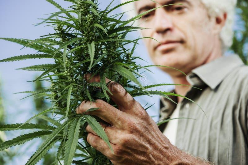 Fazendeiro de sorriso que verifica plantas do cânhamo foto de stock