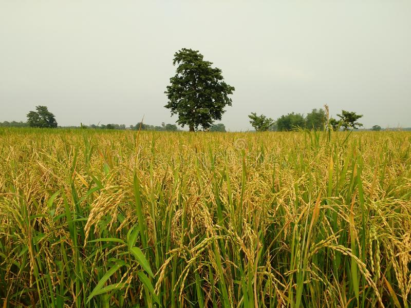 Fazendeiro do arroz fotografia de stock royalty free