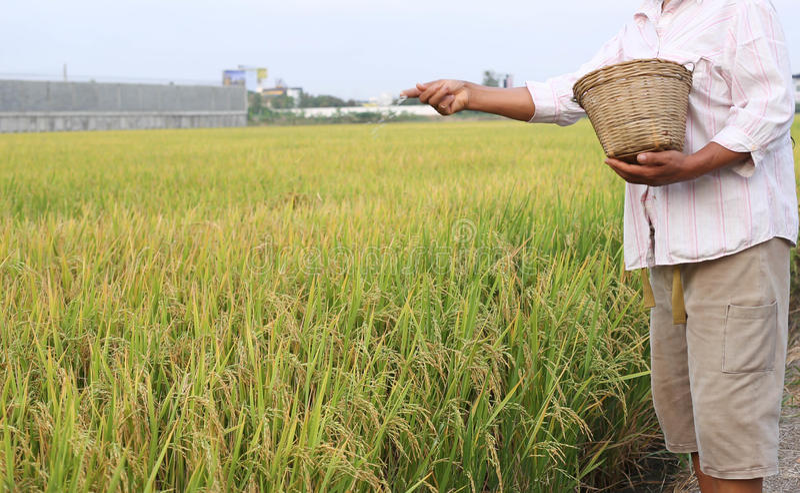 Fazendeiro do arroz que usa o adubo do nitrogênio foto de stock royalty free