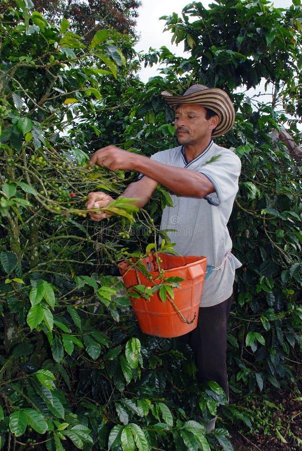 Fazendeiro do café da colheita foto de stock