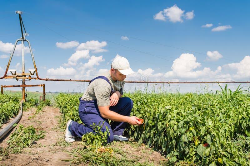 Fazendeiro em campos da pimenta fotos de stock royalty free