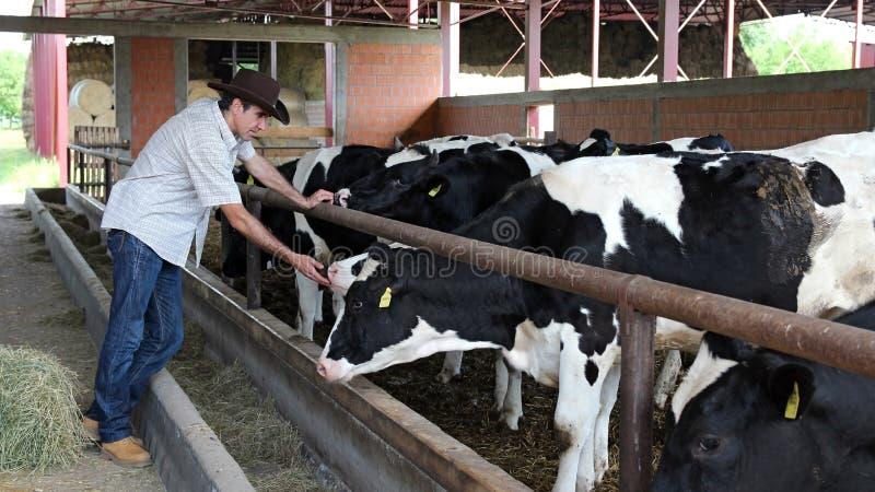 Fazendeiro em sua exploração agrícola da vaca foto de stock