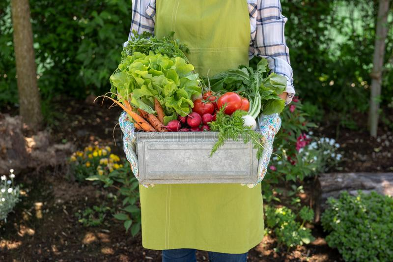 Fazendeiro fêmea Unrecognisable que mantém a caixa completa de vegetais recentemente colhidos em seu jardim Bio produto caseiro fotos de stock