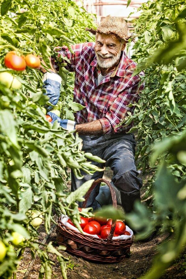 Fazendeiro feliz, jardineiro que recolhe tomates imagem de stock royalty free