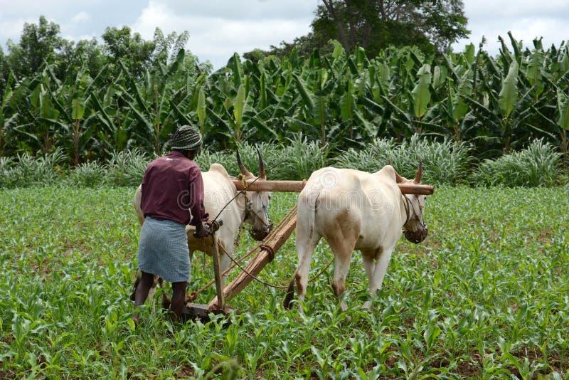 Fazendeiro indiano Ploughing fotografia de stock