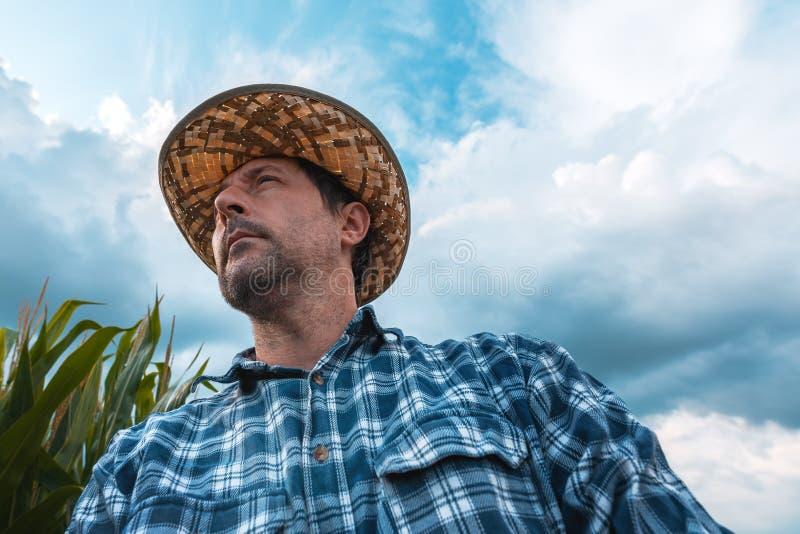 Fazendeiro interessado do milho no campo imagens de stock royalty free