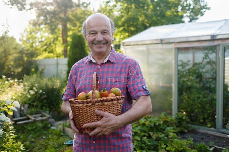 Fazendeiro latino-americano superior que escolhe tomates em uma cesta imagem de stock royalty free