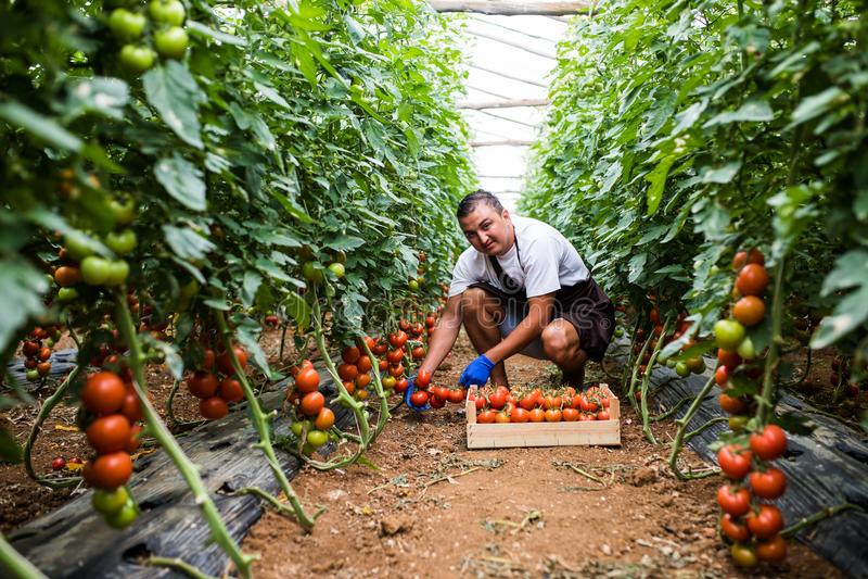 Fazendeiro masculino feliz atrativo que trabalha na estufa Colheita da agricultura imagem de stock