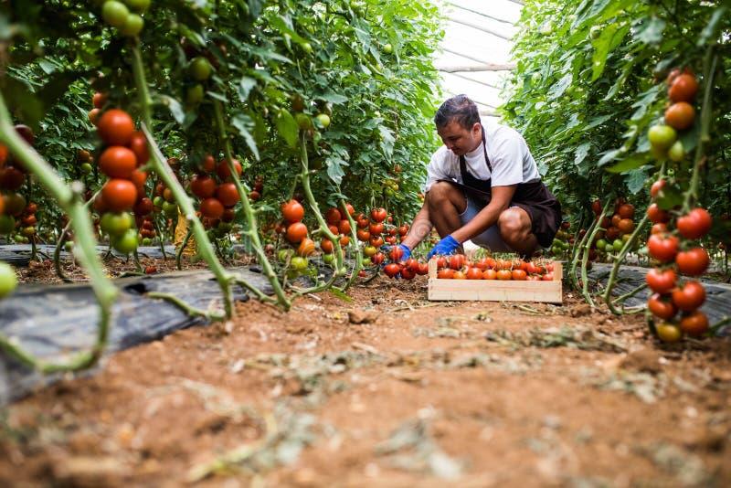 Fazendeiro masculino feliz atrativo que trabalha na estufa Colheita da agricultura fotografia de stock