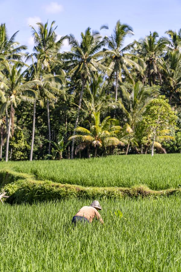 Fazendeiro masculino idoso em um chapéu de palha que trabalha em uma plantação verde do arroz Paisagem com campos e o ancião verd fotografia de stock royalty free