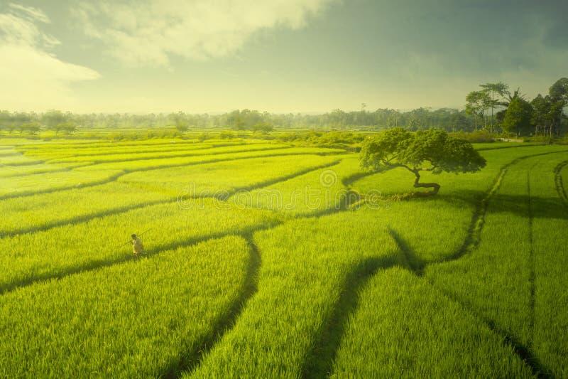 Fazendeiro masculino que anda no campo do arroz no crep?sculo fotografia de stock