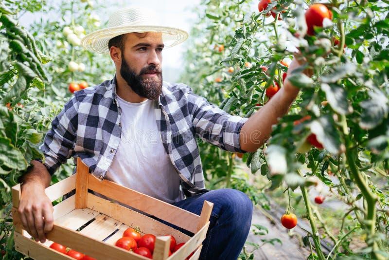 Fazendeiro masculino que escolhe tomates frescos de seu jardim da estufa fotografia de stock royalty free
