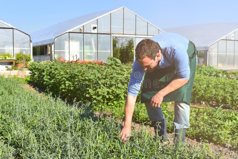 Fazendeiro na agricultura que cultiva os vegetais - estufas no th fotos de stock royalty free