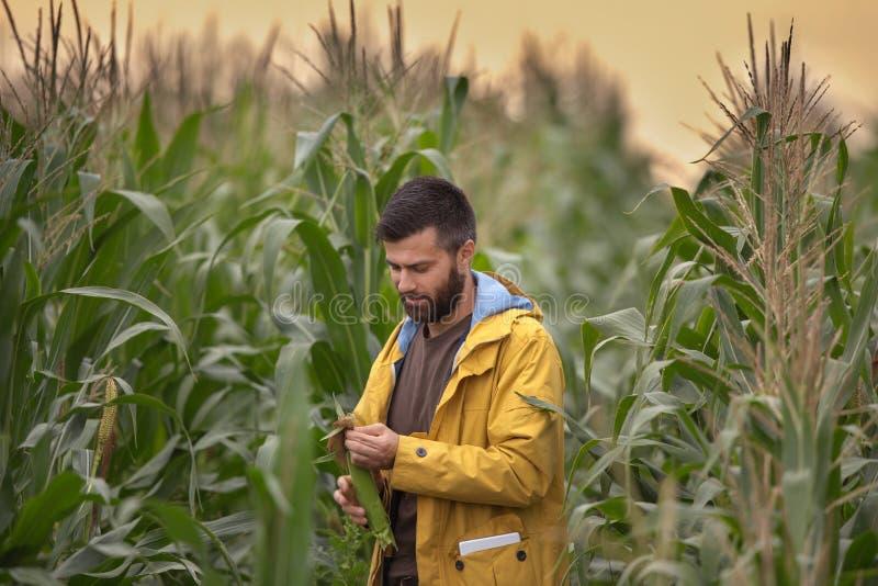 Fazendeiro no campo de milho imagem de stock