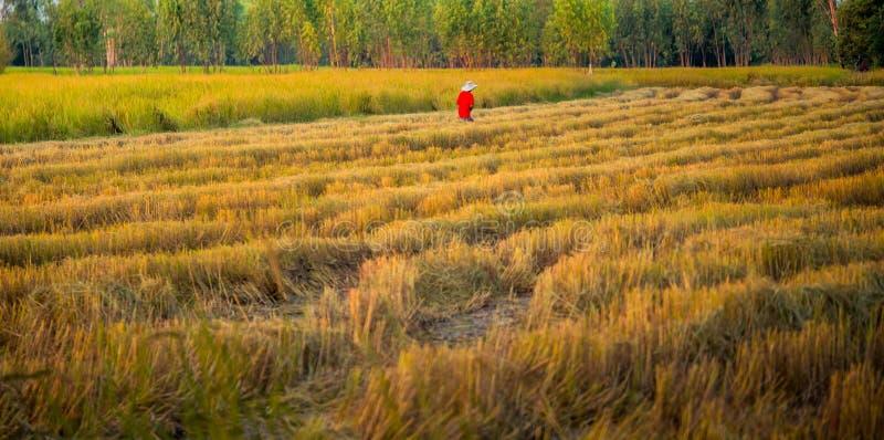 Fazendeiro no campo do arroz imagem de stock royalty free