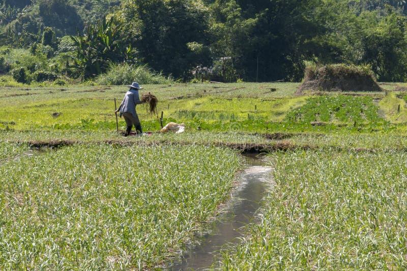 Fazendeiro no trabalho em um campo do arroz fotos de stock royalty free