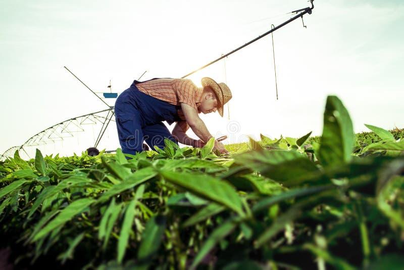 Fazendeiro novo em campos da pimenta foto de stock