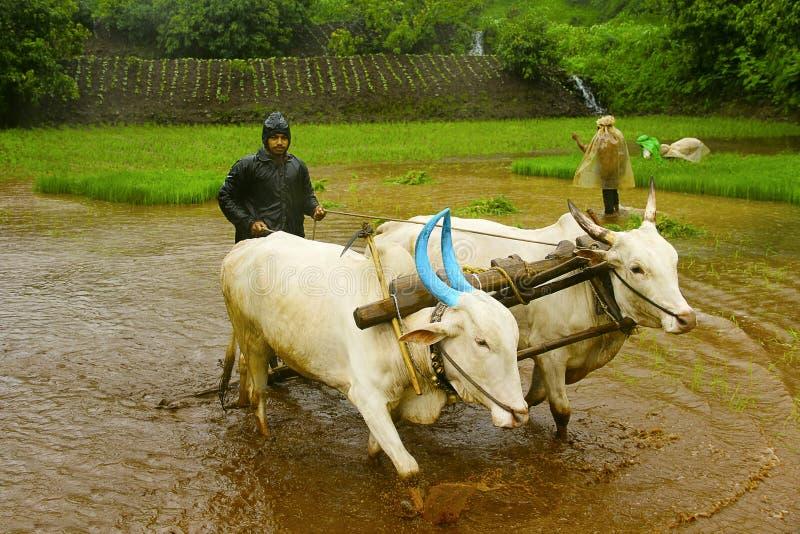 Fazendeiro novo que ara o campo de almofada do arroz com um par de bois, perto de Lavasa fotos de stock royalty free