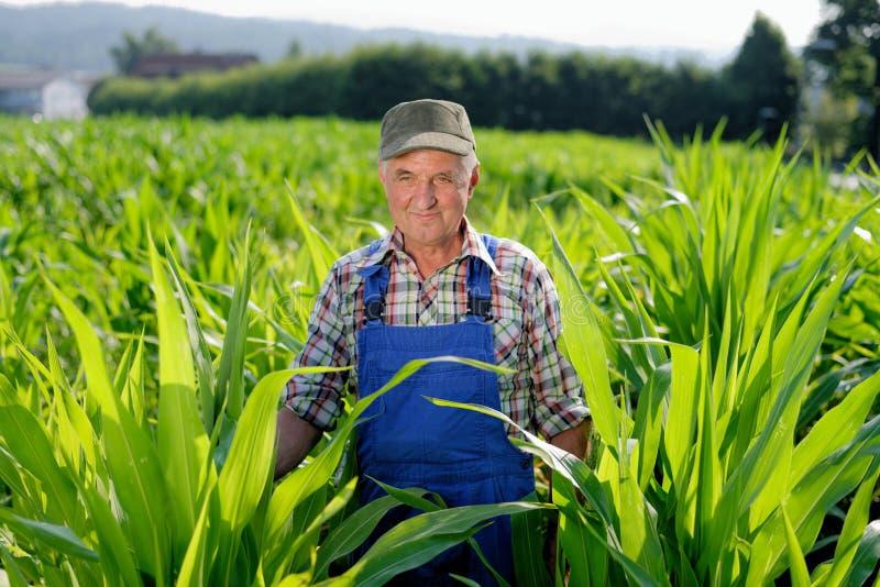 Fazendeiro orgânico que olha o sweetcorn imagem de stock