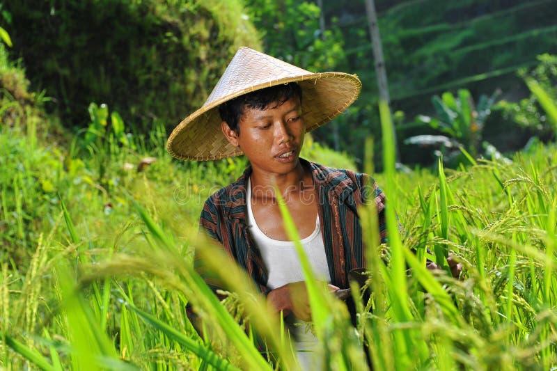 Fazendeiro orgânico que trabalha e que colhe o arroz fotos de stock