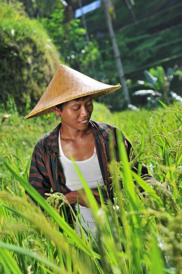 Fazendeiro orgânico que trabalha e que colhe o arroz fotografia de stock