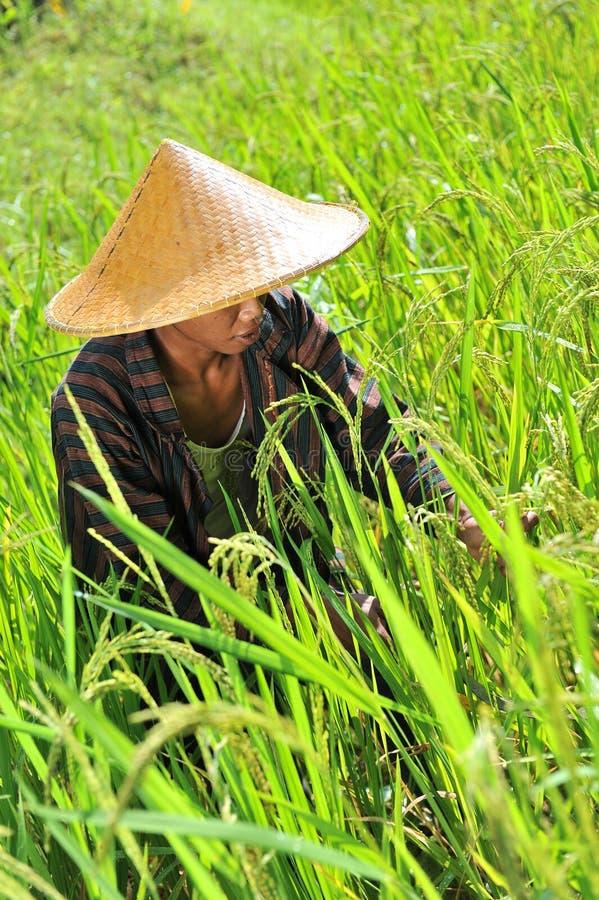 Fazendeiro orgânico que trabalha e que colhe o arroz imagens de stock royalty free